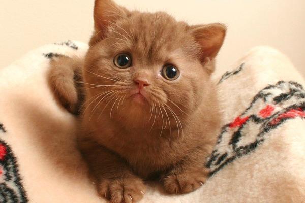 Циннамон окрас британская кошка