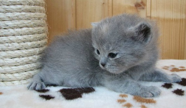 двух недельный британский котенок