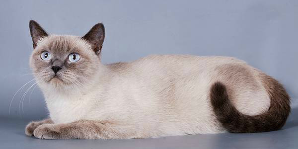 Колор Поинт окрас британская кошка