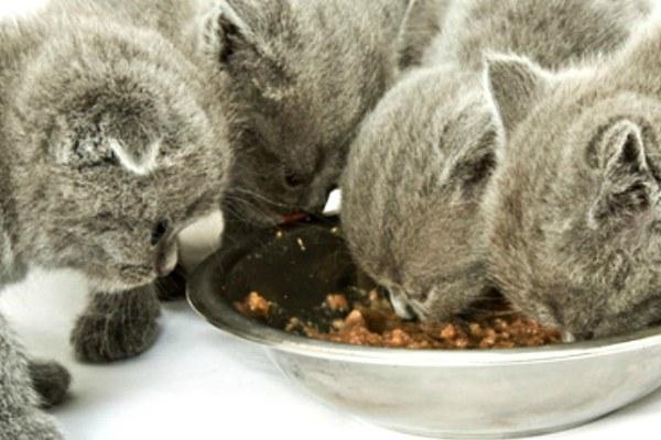 британский котенок ест корм