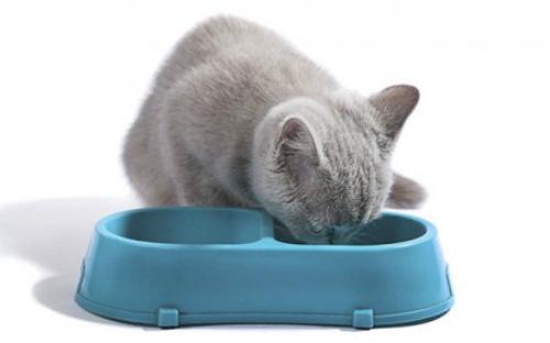 британский котенок пьет воду