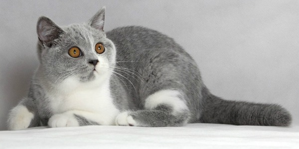 Ван окрас британская кошка