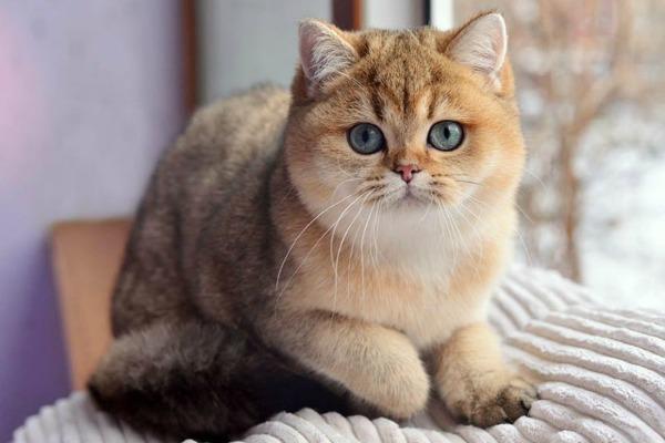 Золотой окрас британская кошка