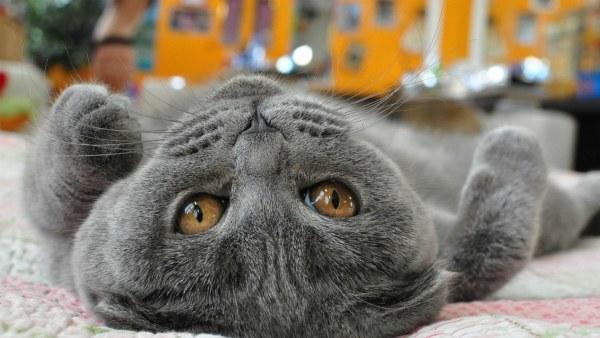 gray-cat-animal-hd-wallpaper-1920x1080-31790[1]