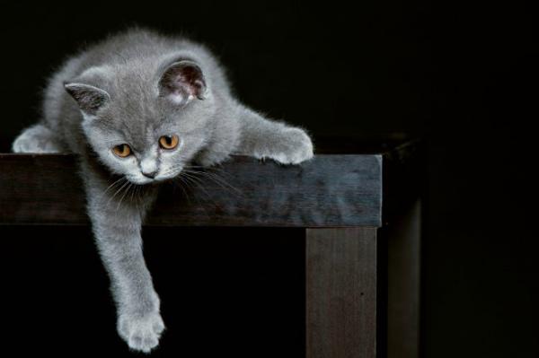 игривый британский котенок