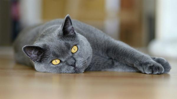 британская кошка беременная отдыхает