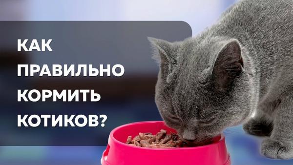 как правильно кормит британского кота