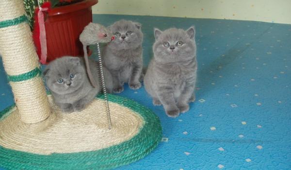британским котенком у когтеточке