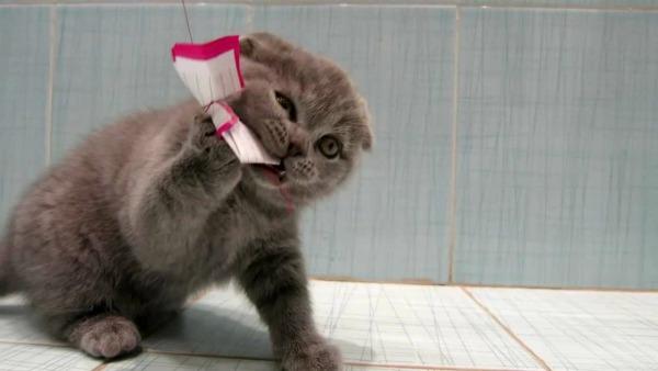 британский котенок играет