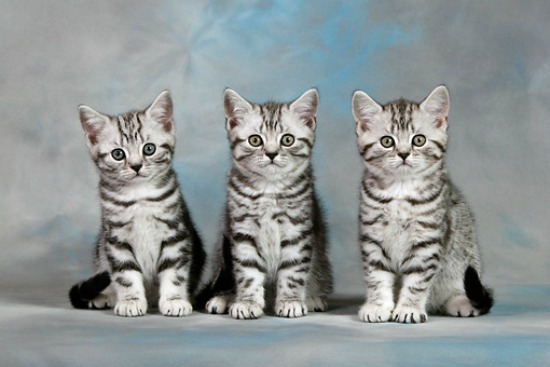 Табби окрас британская кошка
