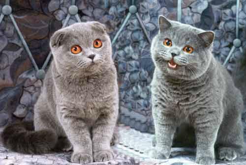 шотландская вислоухая и британская кошка