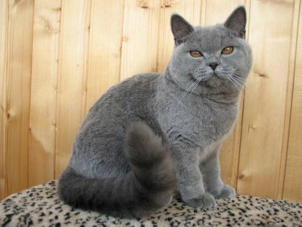 Шесть месяцев британский котенок