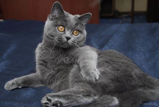 самостоятельная британская кошка