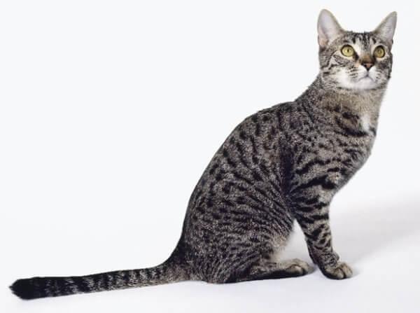 калифорнийская сияющая кошка серебристая