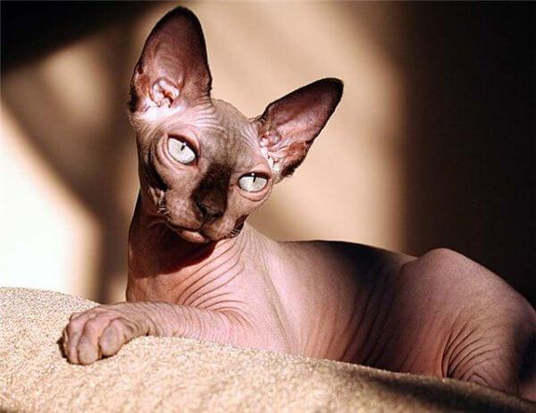 Кошки-сфинксы
