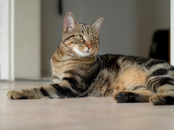 кельтская европейская кошка