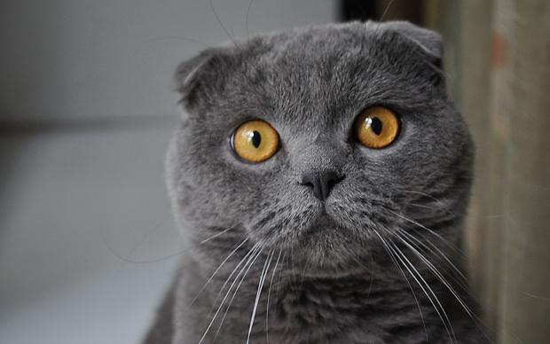 Британская и шотландская кошка отличие