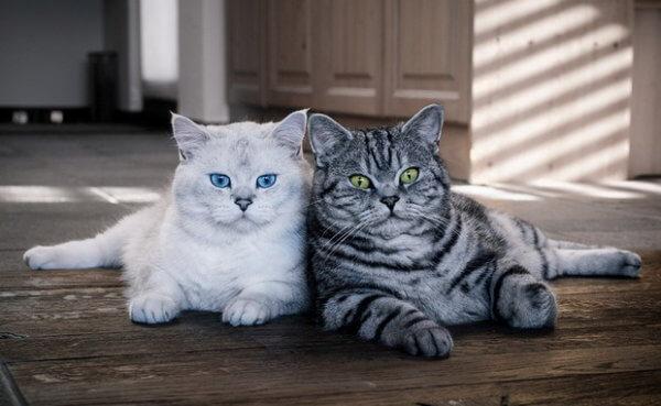 Британская и шотландская кошка отличия