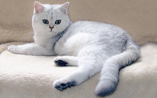 Кот британец уход и содержание