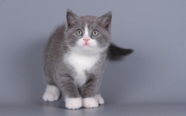 Британская кошка биколор