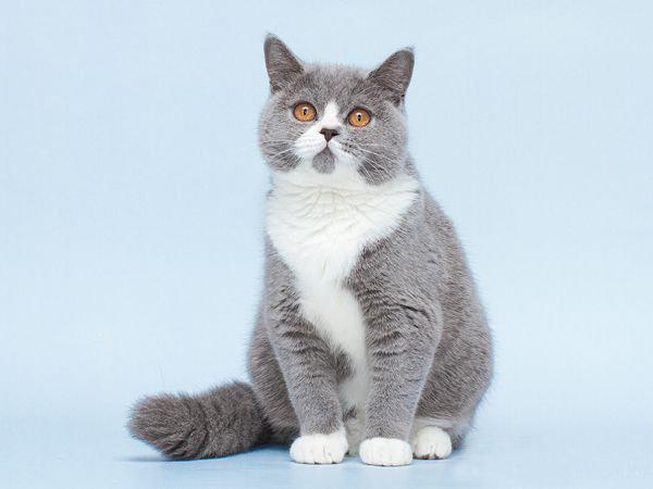 Британская кошка биколор окрас