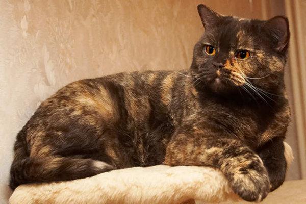 Британская кошка черепаховая