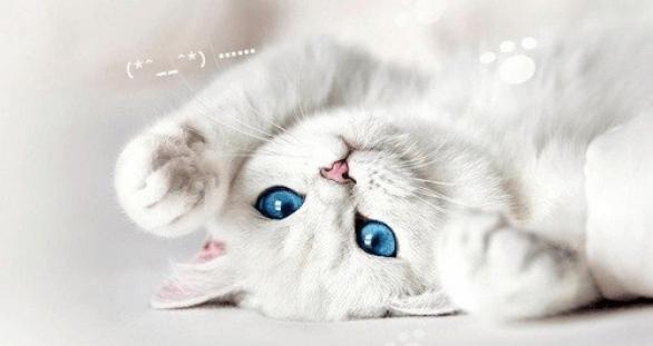 Британская кошка девочка
