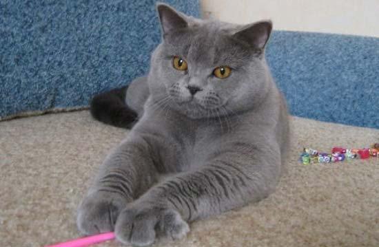 Британская кошка голубой мрамор
