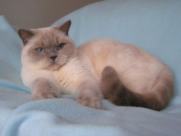 Британская кошка колор окрас