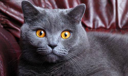 Британская кошка красавица