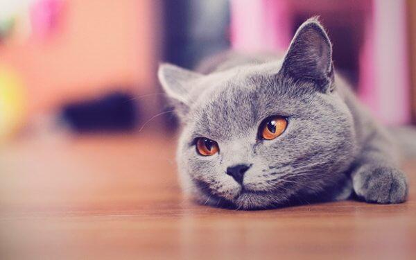 Британская кошка отдыхает