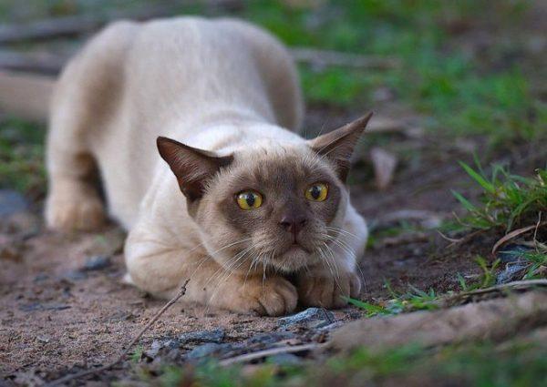 Бурманская кошка играет