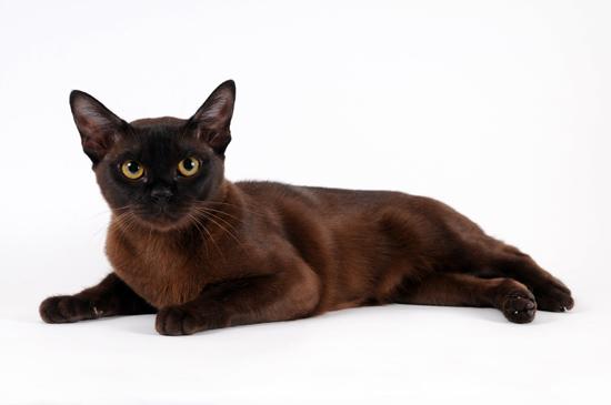 Бурманская кошка в одиночестве