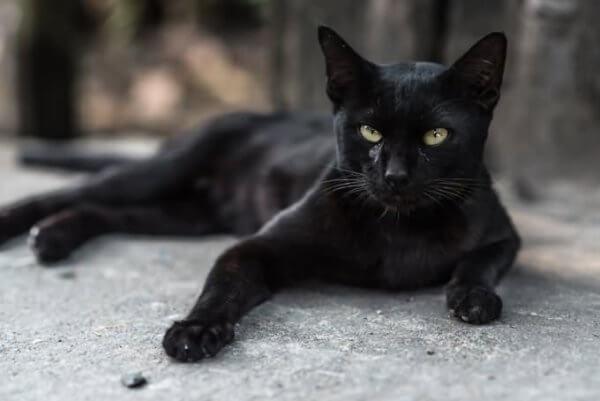 Черная бурмилла