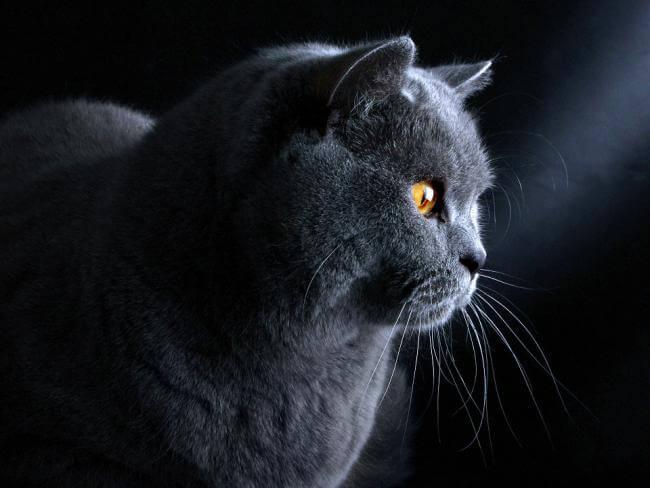 Деловая британская кошка