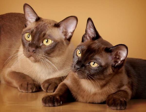 Европейская бурманская кошка