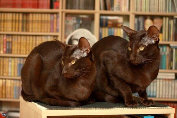 порода кошек гавана