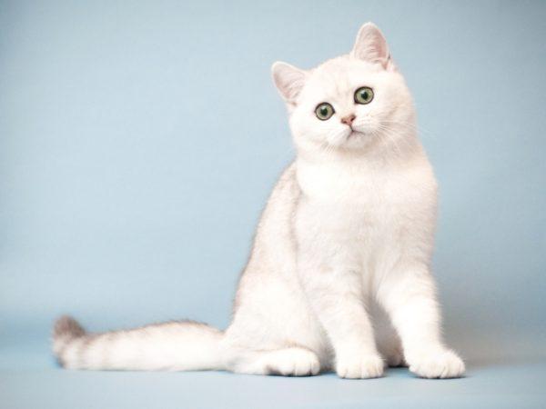 шотландского кота