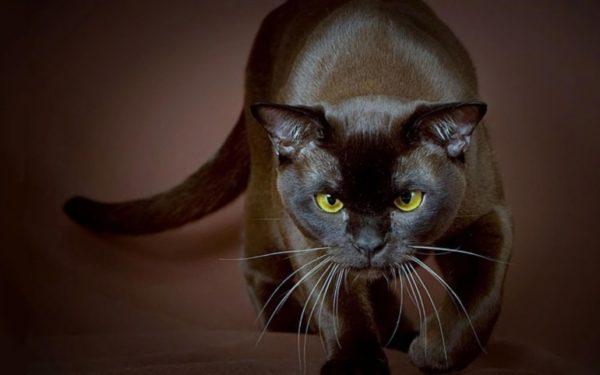 Гладкая шерсть бурманской кошки