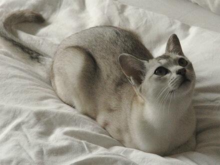 Гладкошерстная кошка бурмилла