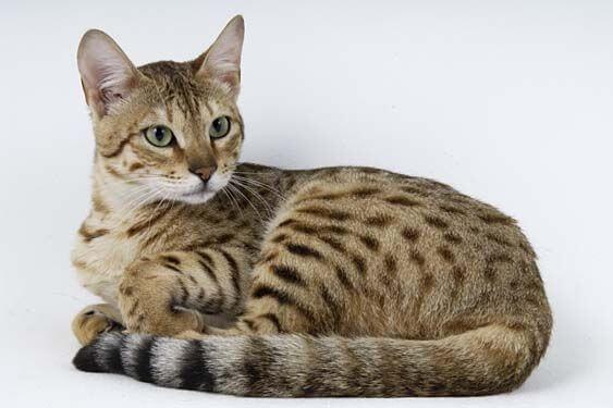 Здоровье кошки канаани