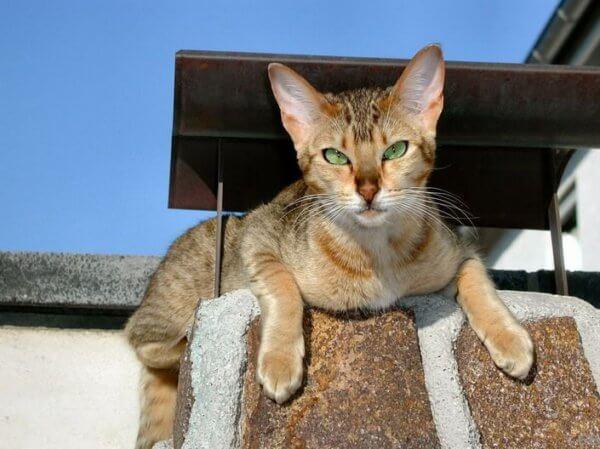 Характер кошки канаани