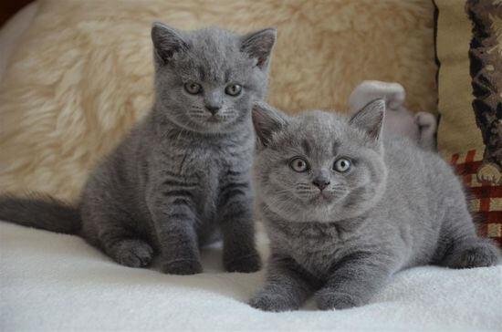 Как назвать британского котенка мальчика серого цвета