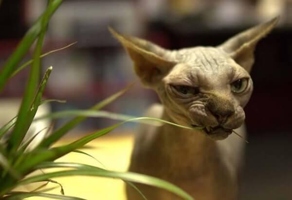Канадский сфинкс ест траву