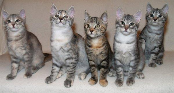 Кельтские котята