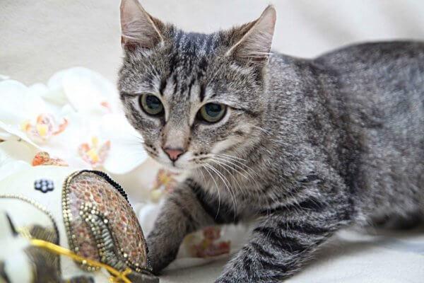Кельтская кошка