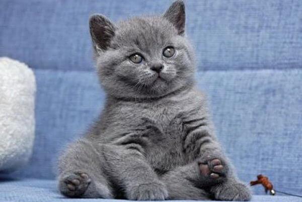 Клички для котов британцев мальчиков