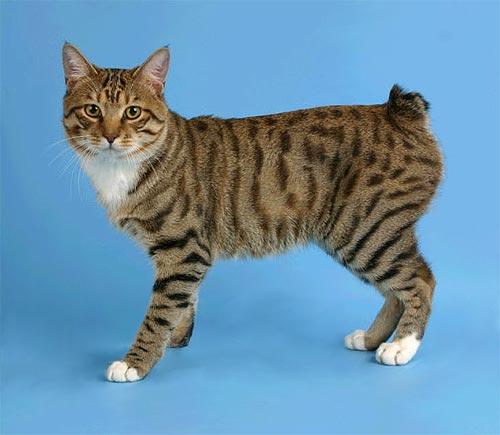 Кошка бобтейл