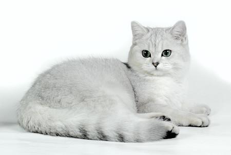 Кошка британская шиншилла