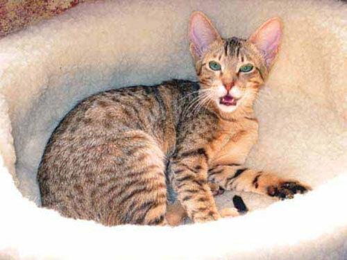 Кошка ханаани